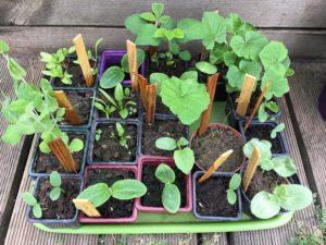 Plantes potagères germées