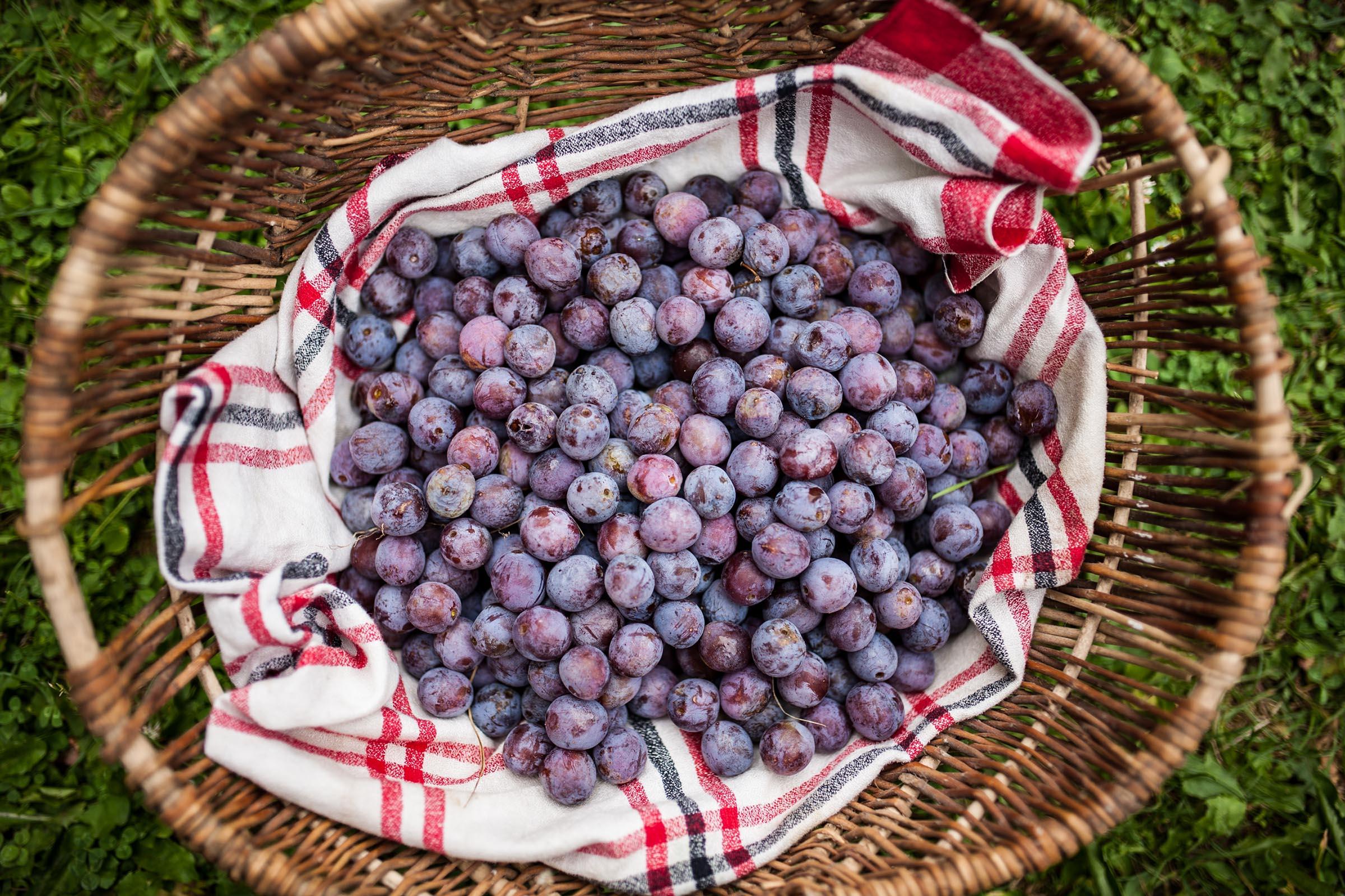 Panier de prunes rouges de Montaut
